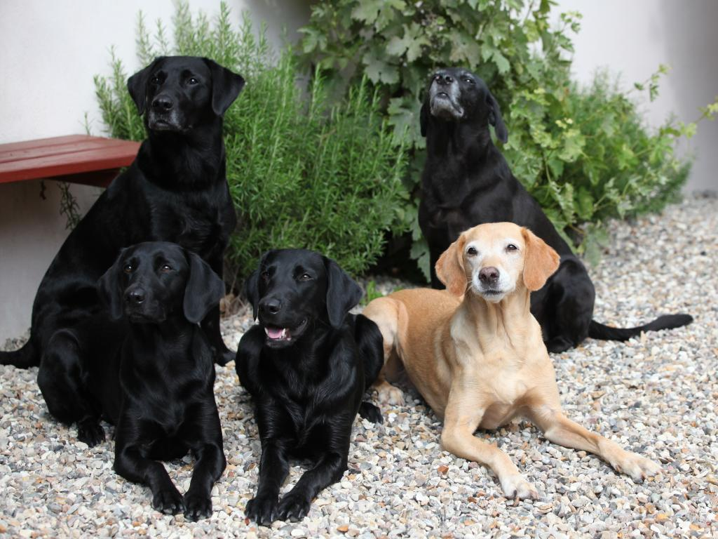 Our pack in August 2017. Sitting to the left is Ravensbank Bob (Bob), in front of him it is Ravensbank Biscuit (Bibi), next to her it is Ravensbank Holly (Holly), lying next to her is yellow Ravensbank Wagtail (Waggie) and rightmost it is Ravensbank Flo (Flo) ©Knud Erik Thinggaard