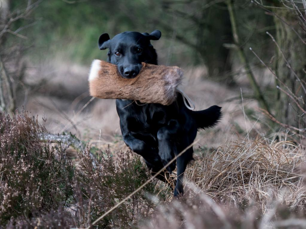 DKBRCH Ravensbank Neat (Neat)©Kennel Neatmoor / Trine Christensen
