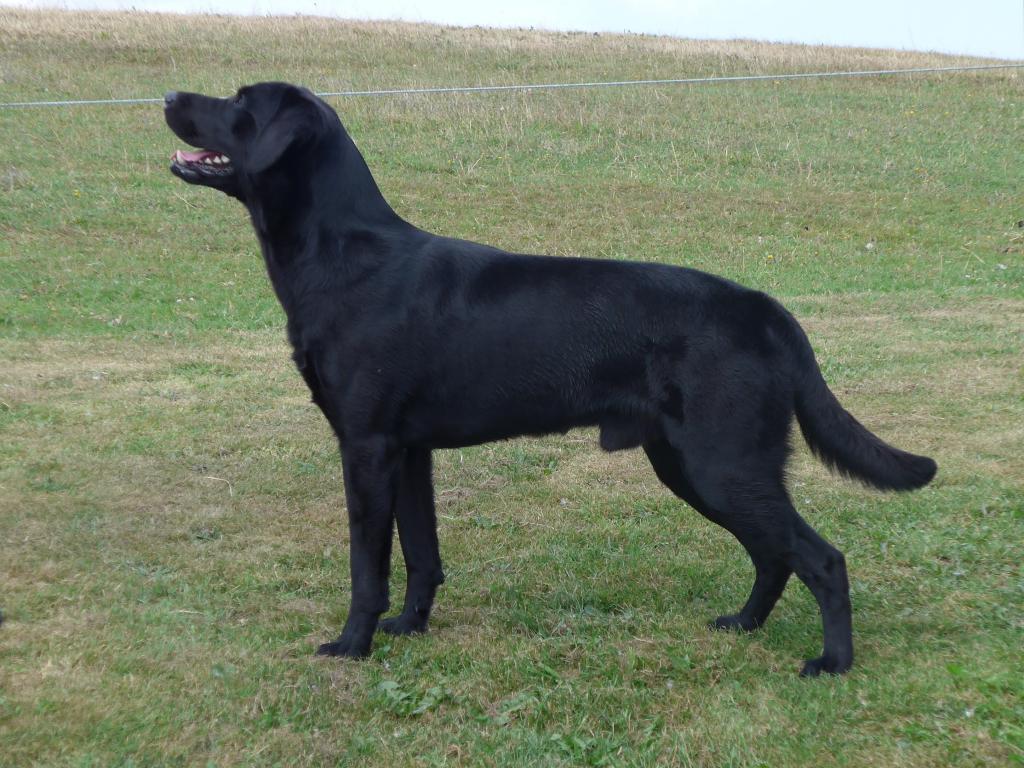 Ravensbank Bob (Bob) almost two years old.©Ravensbank Labrador Retrievers