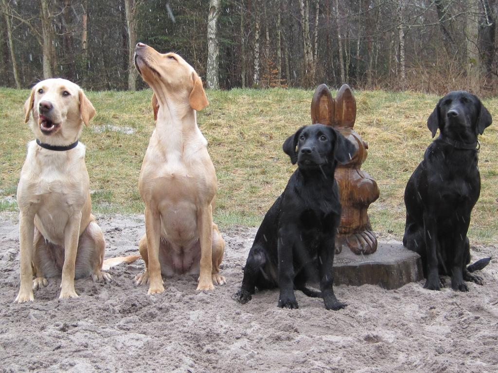 2012 Easter training at Bornholm i sleet and snow. A whole bunch of fine dogs. To the left Ravensbank Express (Chilli), then it is 4RM2014 Ravensbank Fay (Fay) (who more and more looks like Waggie) og rightmost it is Ravensbank Economist (Mynte). The young dog who was forced to sit next to the Easter Bunny is Ravensbank Wicked (Wicked). ©Frank Graversen