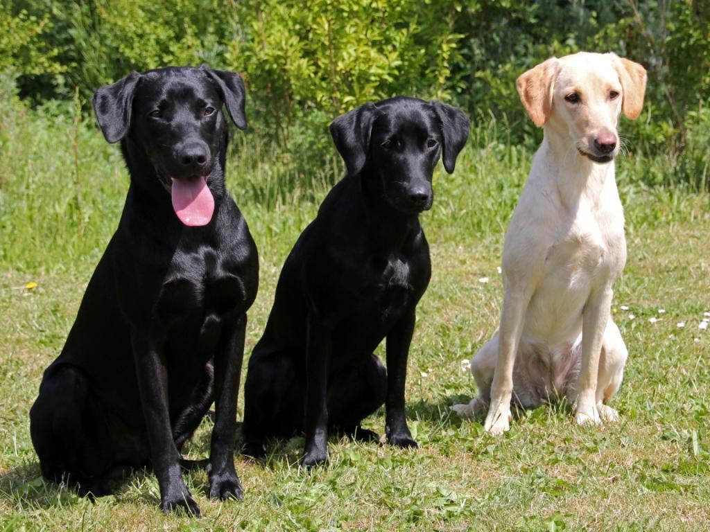 From a shared training day in June 2012, where three litter siblings meet. To the right it is DKRLCH Ravensbank FT (Pink) in the middle it is  Ravensbank Economist (Mynte), and to the left it is Ravensbank Times (Kato). ©Pia Bielefeldt