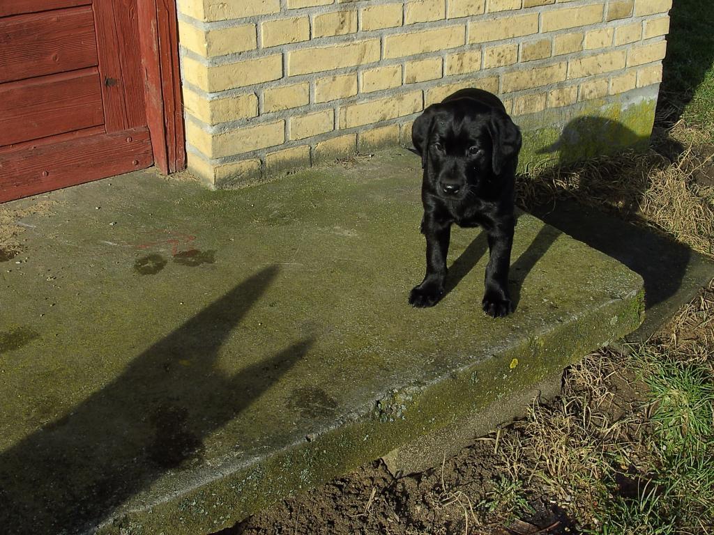 Dette billede af Ravensbank Mint (Minte) er sjovt - især hvis man ser på skyggen af storesøster Aya - en velvoksen schæferhund.©Helle Voigt