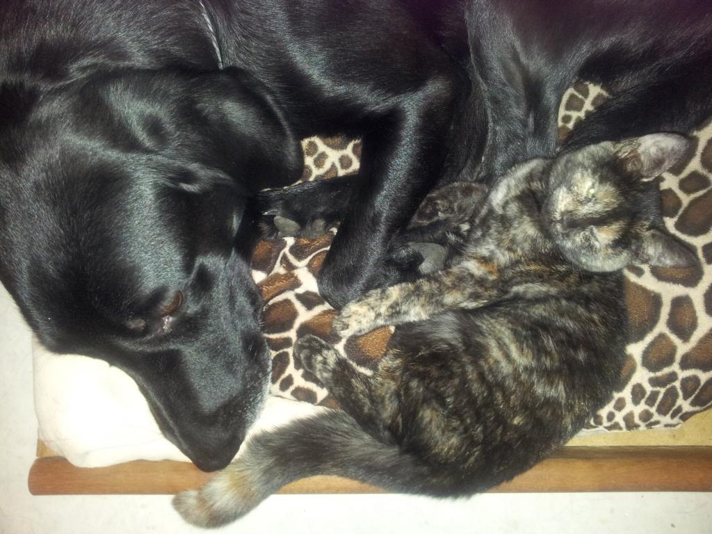 Hund og kat er ikke nødvendigvis modsætninger. Faktisk er Ravensbank Raven (Raven) og katten Lena Olin verdens bedste venner.©Gitte Nini Erichsen