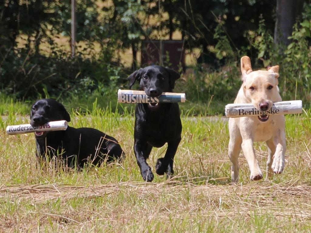 Lovely picture, where three of the dogs from the newspaper-litter goes all-in at what they are best at. From the left it is Ravensbank Times (Kato), in the middle it is Ravensbank Economist (Mynte) and to the right it is DKRLCH Ravensbank FT (Pink) ©Pia Bielefeldt