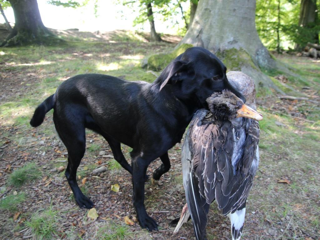 As Pia wrote..... This is 20.8 kg Ravensbank Economist (Mynte) retrieving 5.2 kg goose!! ©Pia Bielefeldt