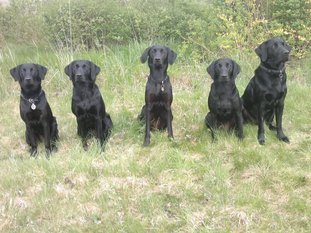 From a training gathering in Birkerød in May 2013. Five lovely Ravensbank dogs - from the left it is Ravensbank Janet (Janet), Ravensbank Mint (Minte), Ravensbank Donna (Bibs), Ravensbank Economist (Mynte) and rightmost it is Ravensbank Storm (Charlie). ©Anne Kjær Iversen