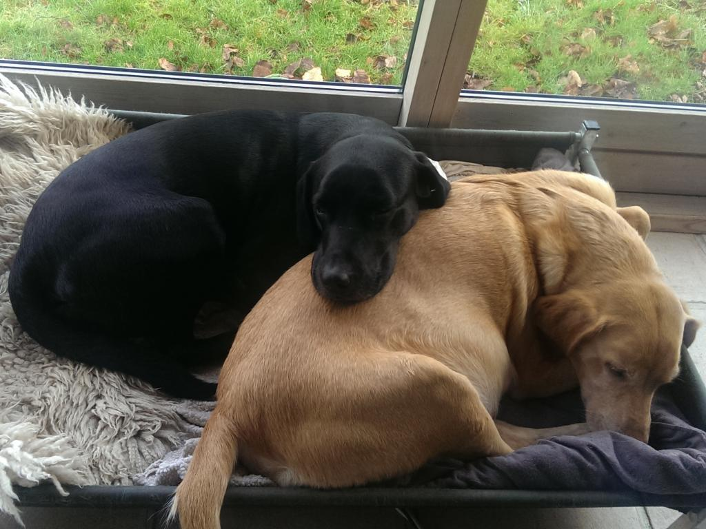 There is now only a good week until Ravensbank Wagtail (Waggie) will whelp, and she is enjoying protection from her pack. Here little brother Ravensbank Jock (Jock) looks after her while she is fast asleep.©Ravensbank Labrador Retrievers