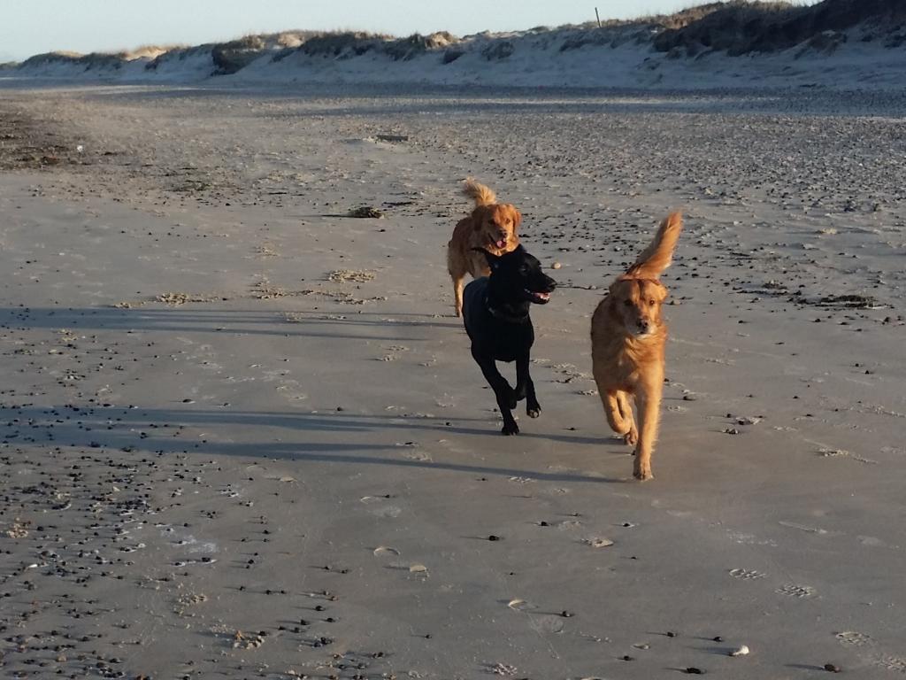 Ravensbank Fifi (Fifi) løber om kap med jagtgoldens på stranden ved Skagen. Hun er to år gammel på billedet.©Lotte Frank