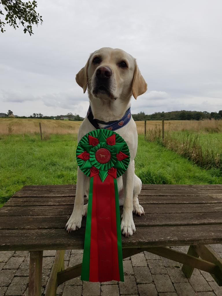 SEVCH DKSCH DKSCH(V) Ravensbank Brandy (Bamse) becomes Danish Wild Game Tracking Champion. He is 5 years and 6 months old.©Heidi Dige