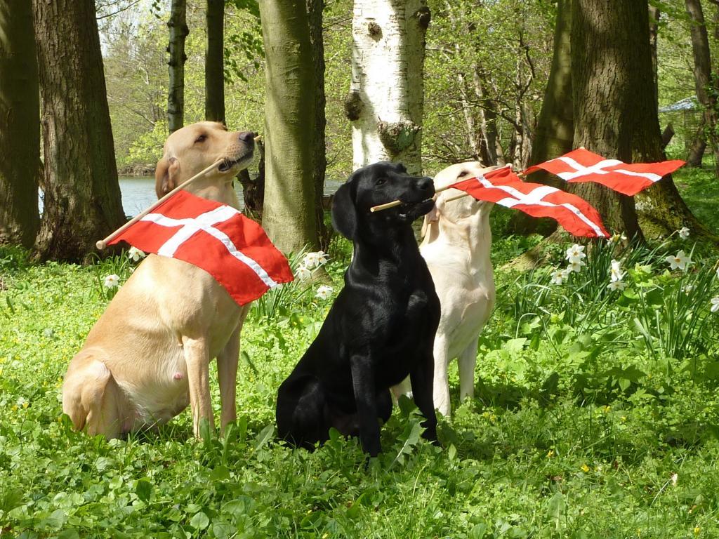 Flagdag i Kennel Ravensbank: Tidemark Ivy (Ivy) er til højre, i midten, er det Ravensbank Jock (Jock) og til venstre er Ravensbank Wagtail (Waggie).©Ravensbank Labrador Retrievers