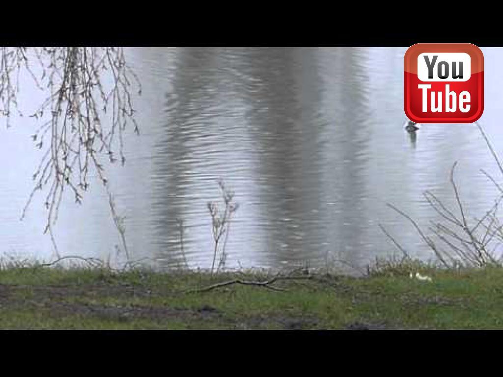 Så er der et hvinandepar og 10 stk. skalleslugere inde på søen tidligt i marts måned. Hvinænderne har parret kort før denne video er taget, og en ny kasse er inspiceret.©Ravensbank Labrador Retrievers