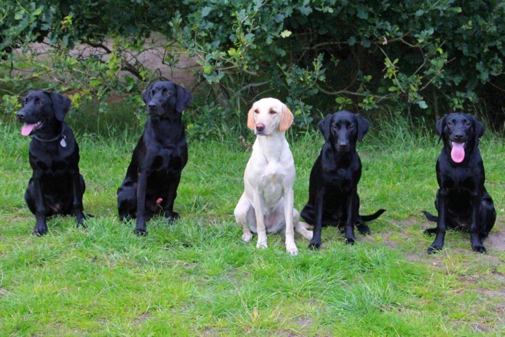 Five Ravensbank-dogs participate in the Labrador Retriever training event 2012. From the left it is Ravensbank Storm (Charlie), Ravensbank Scotsman (Scot), DKRLCH Ravensbank FT (Pink), Ravensbank Economist (Mynte) and rightmost it is Ravensbank Mint (Minte) ©Pia Bielefeldt