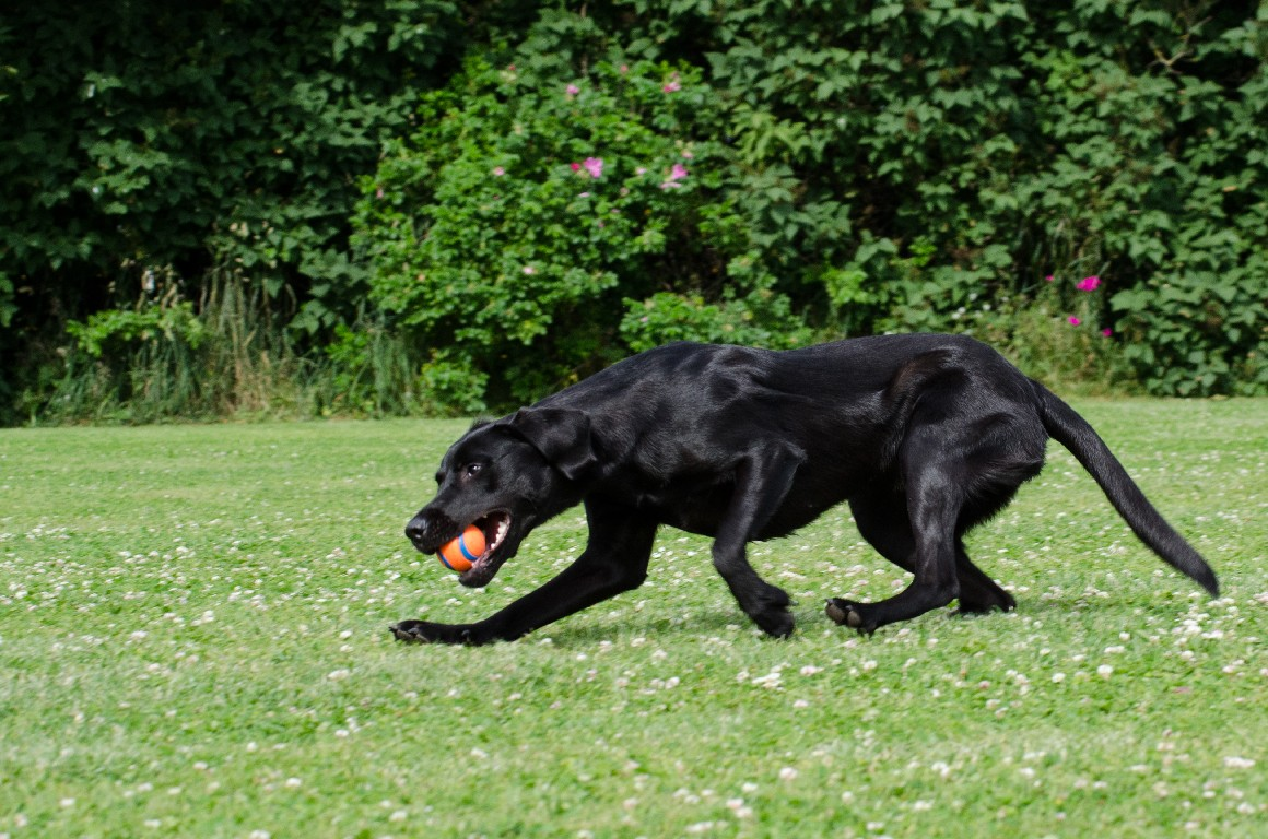Ravensbank Donna (Bibs), 11 måneder gammel©Sanne Amnitsbøll, Sannes Hundecenter