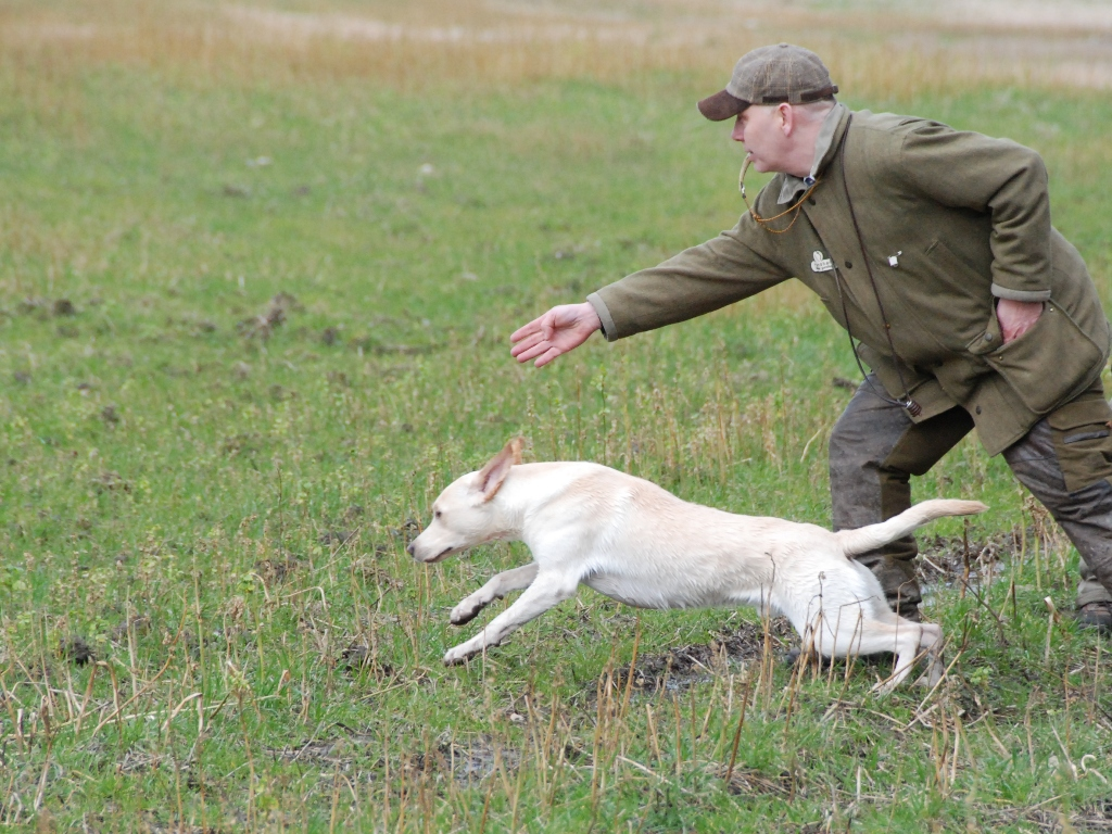En fremadsendelse med fart over feltet. Ravensbank Robin (Robin) forsvinder i en støvsky...... eller rettere sagt en mudderpøl. Billedet er fra C-prøven på Store Ladegaard (Sydsjælland) hvor Robin fik 1. pr. og blev dagens bedste hund.©Frank Andersen