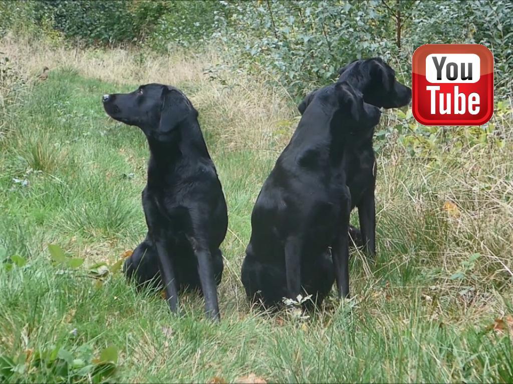 Så er jagtsæsonen begyndt, og Ravensbank Holly (Holly) (til venstre) har debut. I midten er det Ravensbank Biscuit (Bibi) og til højre er det Ravensbank Bob (Bob)©Ravensbank Labrador Retrievers