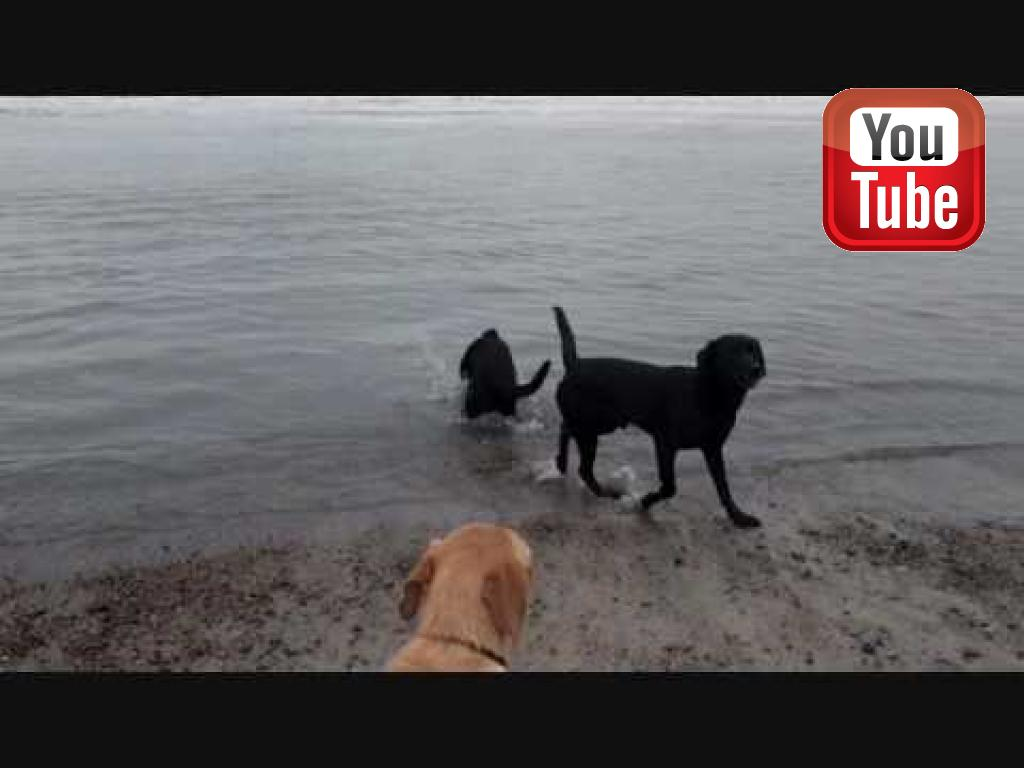 En stille vinterdag, hvor hundene møder Vesterhavet for første gang. Specielt Ravensbank Bob (Bob) har svært ved at skjule sin begejstring.©Ravensbank Labrador Retrievers