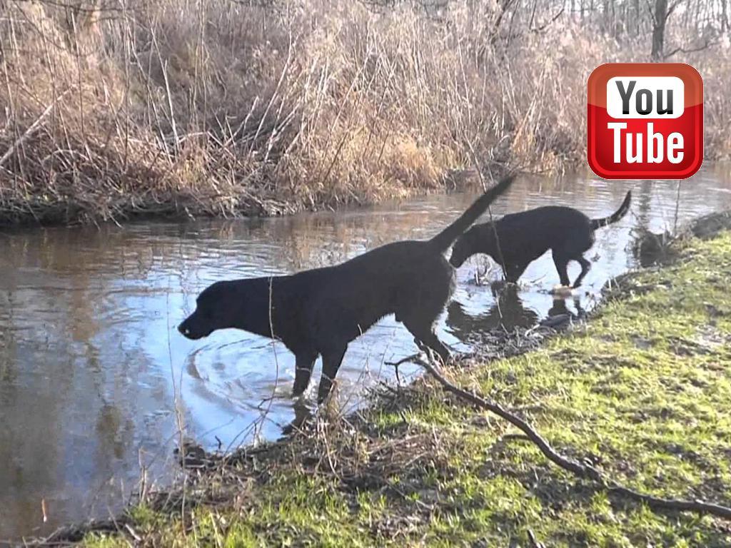 Ravensbank Biscuit (Bibi) og Ravensbank Bob (Bob) leger ved åen en kold men lys vinterdag.©Ravensbank Labrador Retrievers
