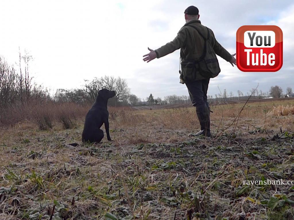 Her træner jeg Ravensbank Biscuit (Bibi) i fremadsendelse. Den anden hund der kigger på er Ravensbank Bob (Bob).©Ravensbank Labrador Retrievers