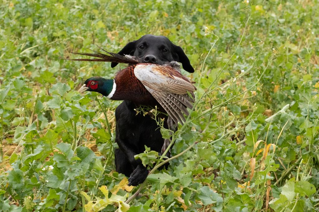 Ravensbank Economist (Mynte) in action picking up. It was a remarkable bird. Wounded and falling 125 meters into fodder radish - and running. Mynte picked up the scent and chased down the pheasant over 50 meters. ©Pia Bielefeldt