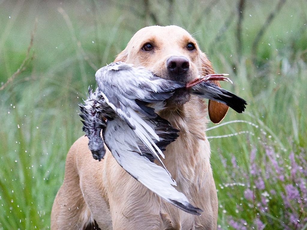 Min egen hund, Ravensbank Wagtail (Waggie) er her fanget med sidste fugl på post 4 til Unghundemesterskabet 2008. Dommeren bedømte hendes arbejde til max. point.©Jagthundefotografen