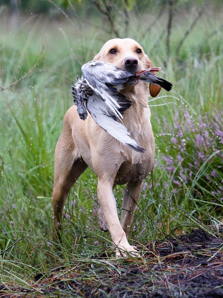 Dette billede af Ravensbank Wagtail (Waggie) viser en træt og våd hund, der stadig arbejder i høj fart og stil. Billedet er fra post 4 til Unghundemesterskabet 2008.©Jagthundefotografen