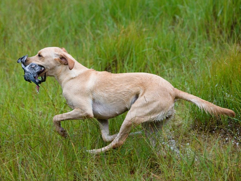 A Labrador Retriever is a sporting dog and is required to move effortlessly and quickly even through a difficult terrain and adverse weather conditions. This is Ravensbank Wagtail (Waggie) working at Step 4 at the Young Dogs' Championship 2008. ©Jagthundefotografen