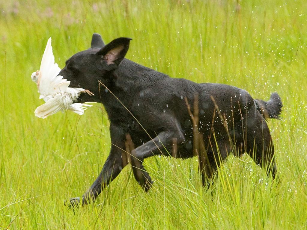 DKBRCH DKJCH NOJCH SEJCH NORDJCH 2EV2010 3UM2008 Ravensbank Swift (Swiffer) fra finalen i Unghundemesterskabet 2008, hvor han opnåede placeringen som 3. Vinder. Swiffer føres af Gert Müller.©Jagthundefotografen