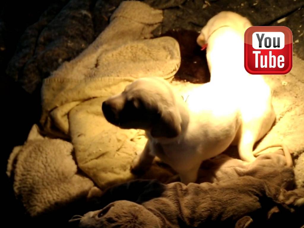 Fire uger gamle Chelsea (gul tæve med rød snor) og Brandy (gul han med blå/hvid snor) leger og hygger sig både hver for sig og sammen.©Ravensbank Labrador Retrievers