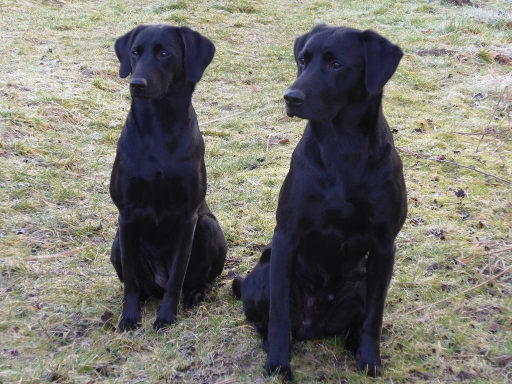 Ravensbank Biscuit (Bibi) til venstre knap 12 måneder gammel, og til højre er det Ravensbank Bob (Bob) 2½ år gammel.©Ravensbank Labrador Retrievers