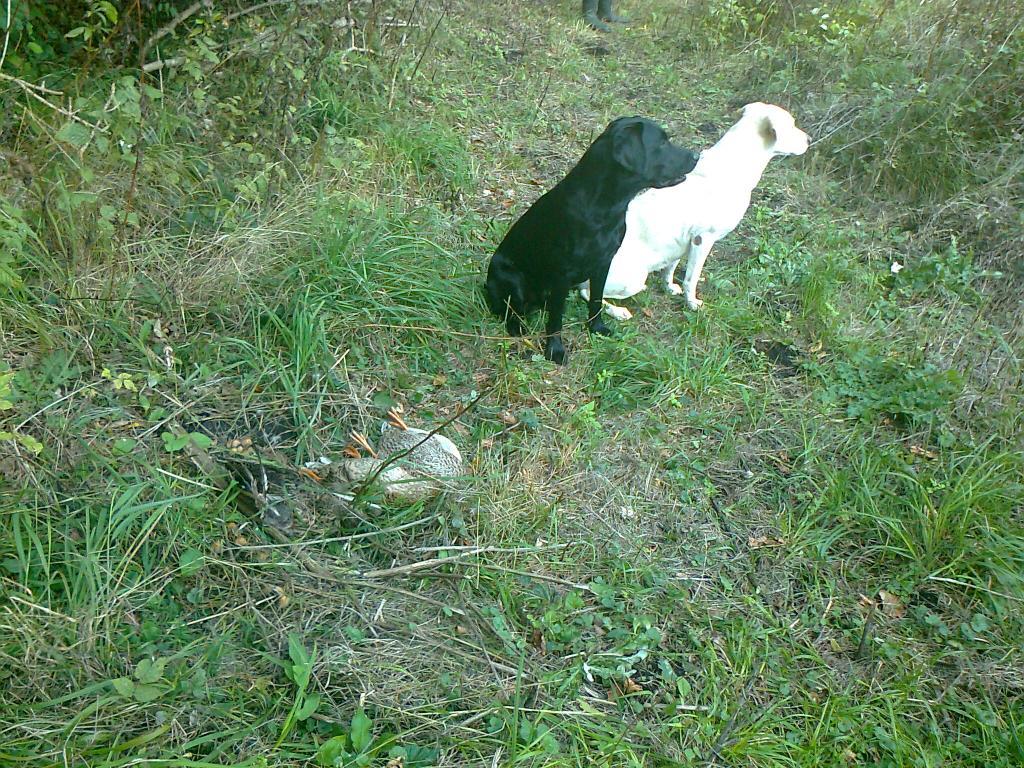 Jagtsæsonen kører. Bagest er det Tidemark Jill (Jill) og foran hende er Lobe´s Labrador Swift Victor.©Gert Müller