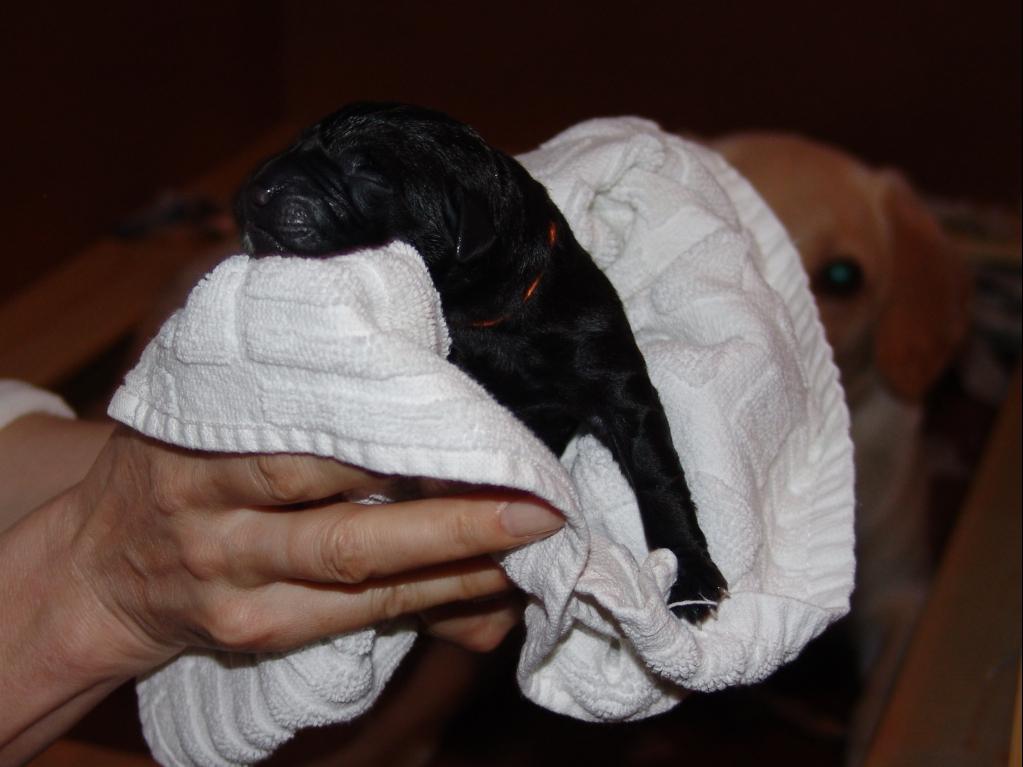 Hvalp nr. 2 der blev født d. 9. maj 2008 kl. 20:35. En tæve på 405 gram. Navn: Ravensbank Flo.©Ravensbank Labrador Retrievers