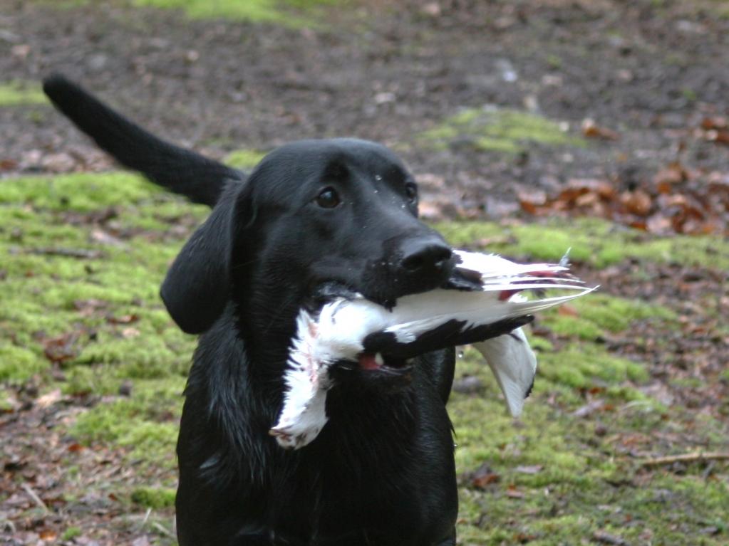 Her er Ravensbank Starling (Steffi) fanget på Labradors forårsarrangement 2008, hvor hun opnåede 1. pr. i begynderklasse på B-prøve.©Pernille Lillevang