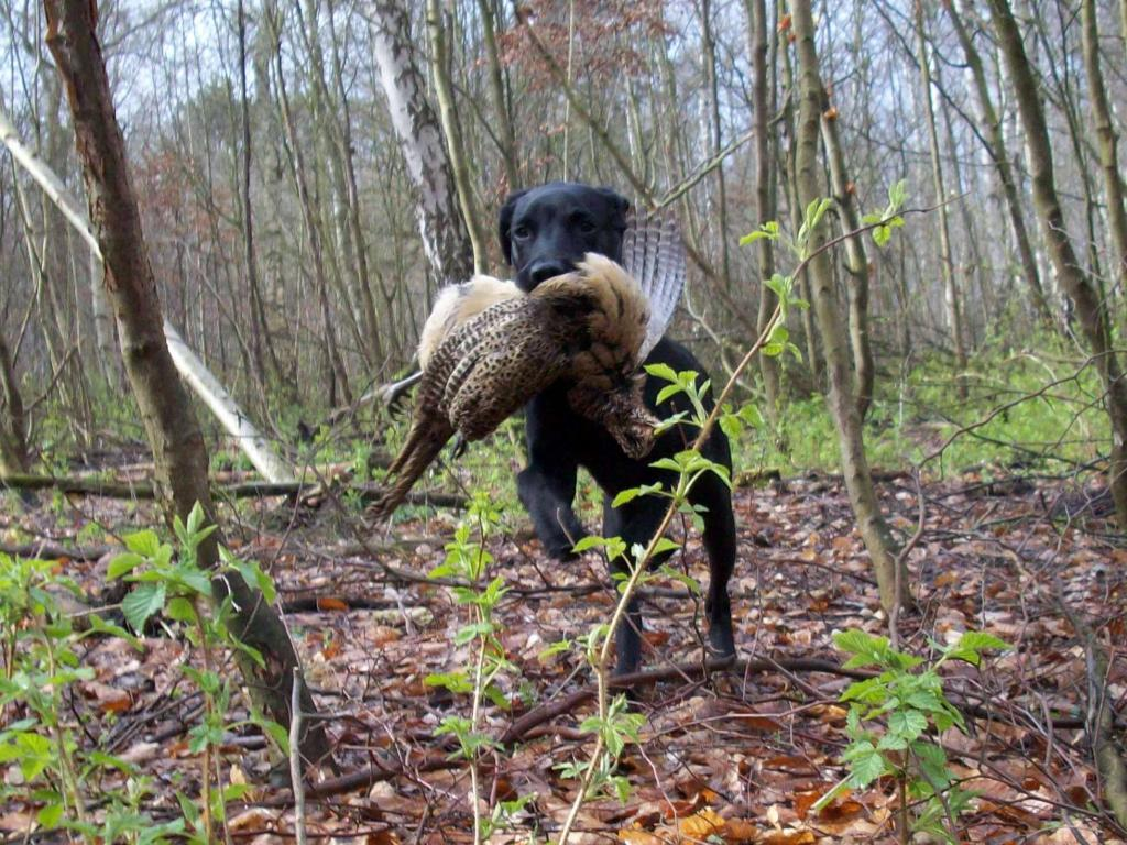 """This is what happens when you as Ravensbank Jock (Jock) here has a ten days """"boarding school"""" experience with uncle Gert. Then you have fun picking up pheasants, pigeons and the like even though you are only five months old.©Vita og Gert Müller"""