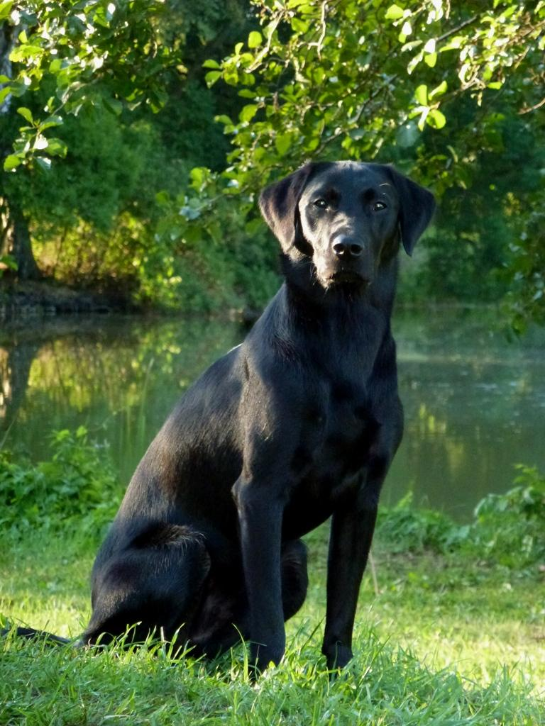 Ravensbank Bob (Bob) has just turned one year old on this picture.©Ravensbank Labrador Retrievers