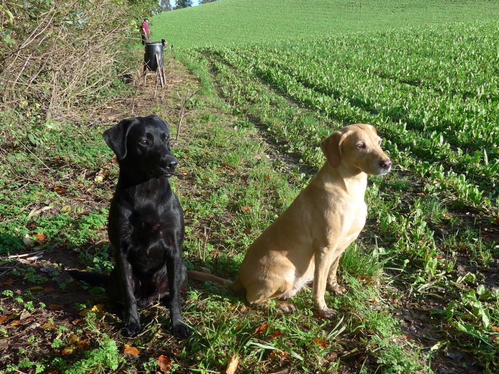 Let the retrieving begin. Ravensbank Wagtail (Waggie) to the right is the experienced, while Ravensbank Bob (Bob) is the rookie on his first picking up day. ©Ravensbank Labrador Retrievers