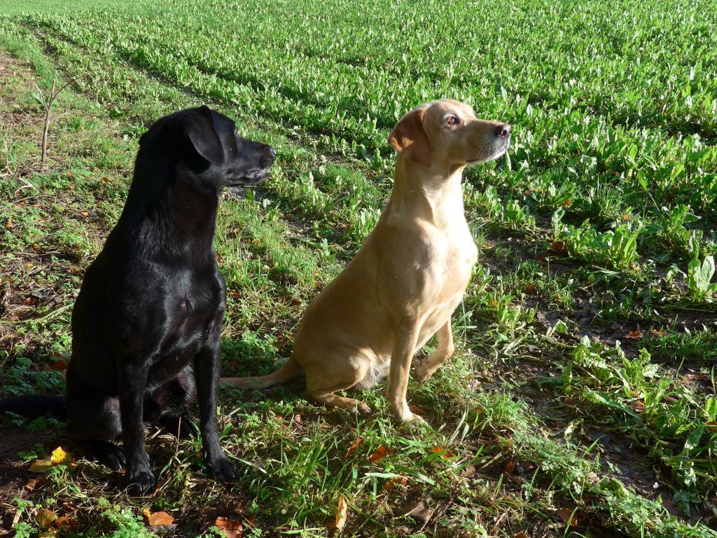 Koncentrationen lyser ud af hundene. Her markerer Ravensbank Wagtail (Waggie) den ene fugl i luften mens Ravensbank Bob (Bob) tilsyneladende har låst radaren på en fugl på jorden.©Ravensbank Labrador Retrievers