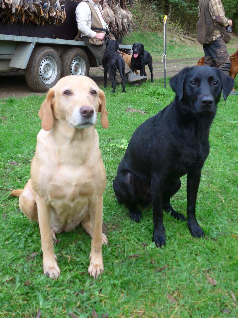 A full days picking up is over. A really tired Ravensbank Wagtail (Waggie) and a seemingly much more fresh Ravensbank Bob (Bob) is posing in front of the game/-retriever cart. ©Ravensbank Labrador Retrievers
