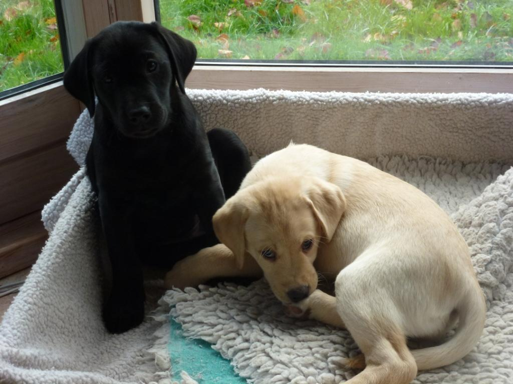 Ravensbank Bob (Bob) to the left and Ravensbank Hazel (Hazel) to the right. Both puppies are eight weeks old on this picture.©Ravensbank Labrador Retrievers