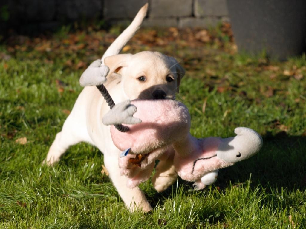 "Lovely picture of LP1, LP2 Ravensbank Tarzan (Buddy) retrieving his first ""bird"" at the age of 8 weeks. ©Helle Kublitz"