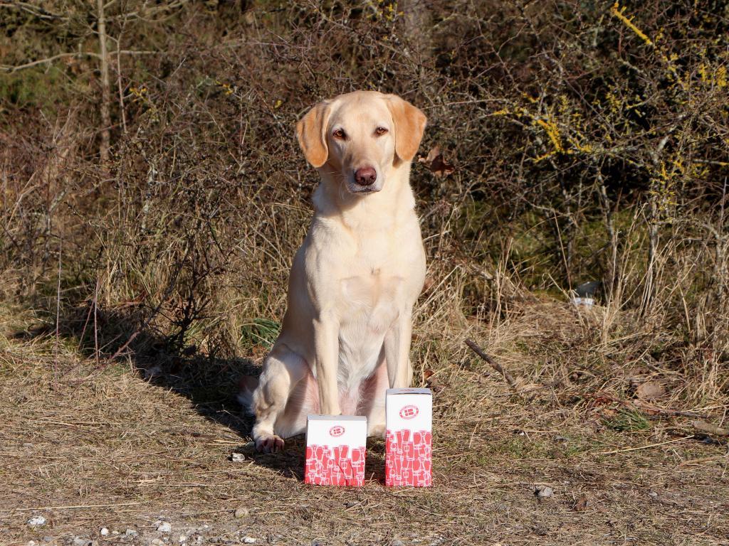 DKRLCH Ravensbank FT (Pink) har opnået 1. pr. i begynderklasse og blevet dagens bedste hund hos sin dommer. C-prøve på dummier marts 2016.©Anne Winkel