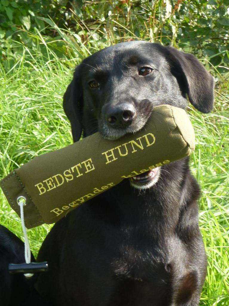 03-09-2011: Ravensbank Flo (Flo) på C-prøve i Tarup Davinde her på Fyn får 1. pr. i begynderklasse og bliver dagens bedste hund.©Ravensbank Labrador Retrievers