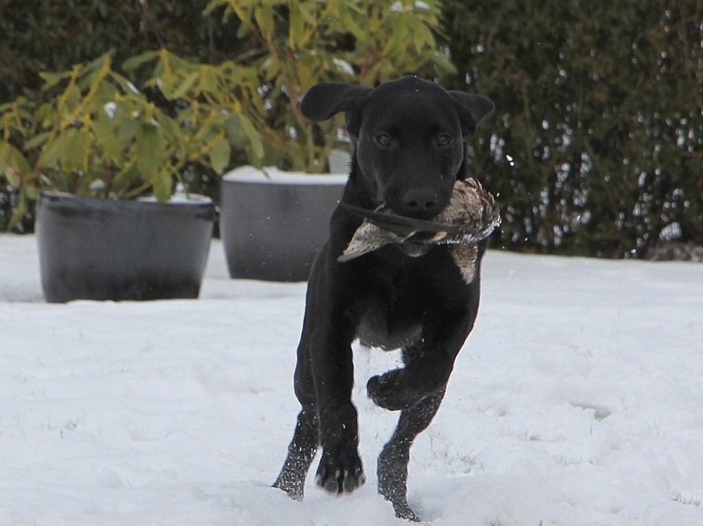2UM2014 Ravensbank Floyd (Lewis) retrieves his first Teal on his six months birthday. ©Helga Thorstein
