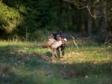 Fanstastisk billede af Ravensbank Donna (Bibs) i aktion på jagt.©Sanne Amnitsbøll, Sannes Hundecenter