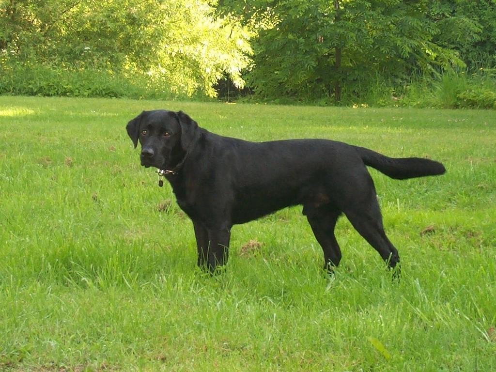 Lochiness Jameson (Primo) som var den første rigtige jagt- og markprøvehund vi har haft.©Ravensbank Labrador Retrievers