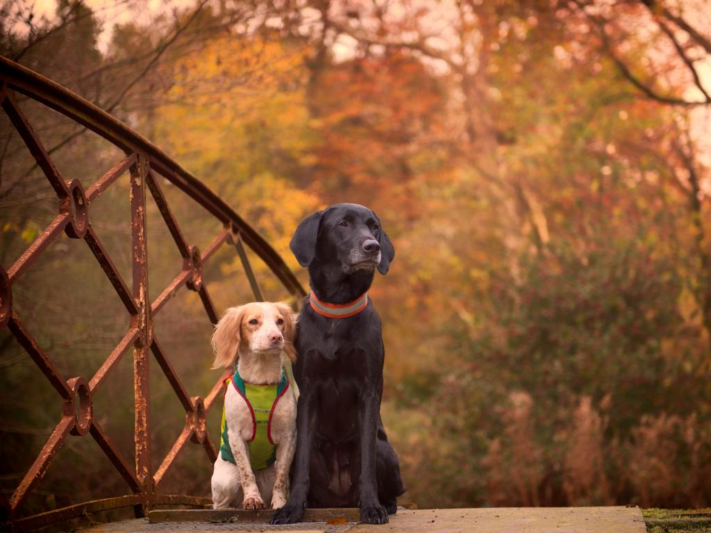 Lovely picture of Ravensbank Donna (Bibs) and her best friend - the FT Cocker Spaniel Driva>. The picture is taken at Erholm Castle, on one of those lovely days where Bibs and Driva helped on both duck and pheasants shooting. ©Sanne Amnnitzbøll