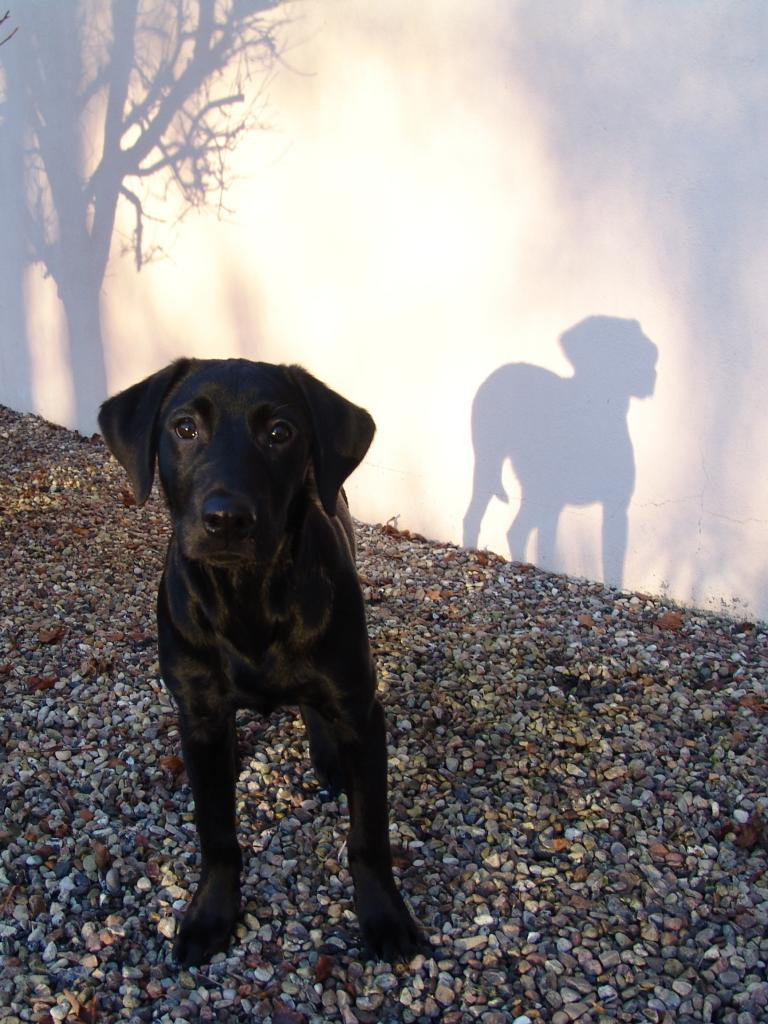 Ravensbank Bob (Bob) in the winter sun four months old. ©Ravensbank Labrador Retrievers