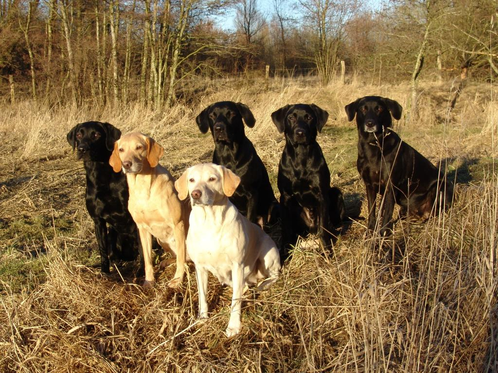 My entire pack photographed on 1 March 2013. From left it is, Ravensbank Sir Kay (Tino), his mum Ravensbank Wagtail (Waggie), her mum Tidemark Ivy (Ivy), her son Ravensbank Jock (Jock), Ravensbank Bob (Bob) and his mum, Ravensbank Flo (Flo) to the right. ©Ravensbank Labrador Retrievers