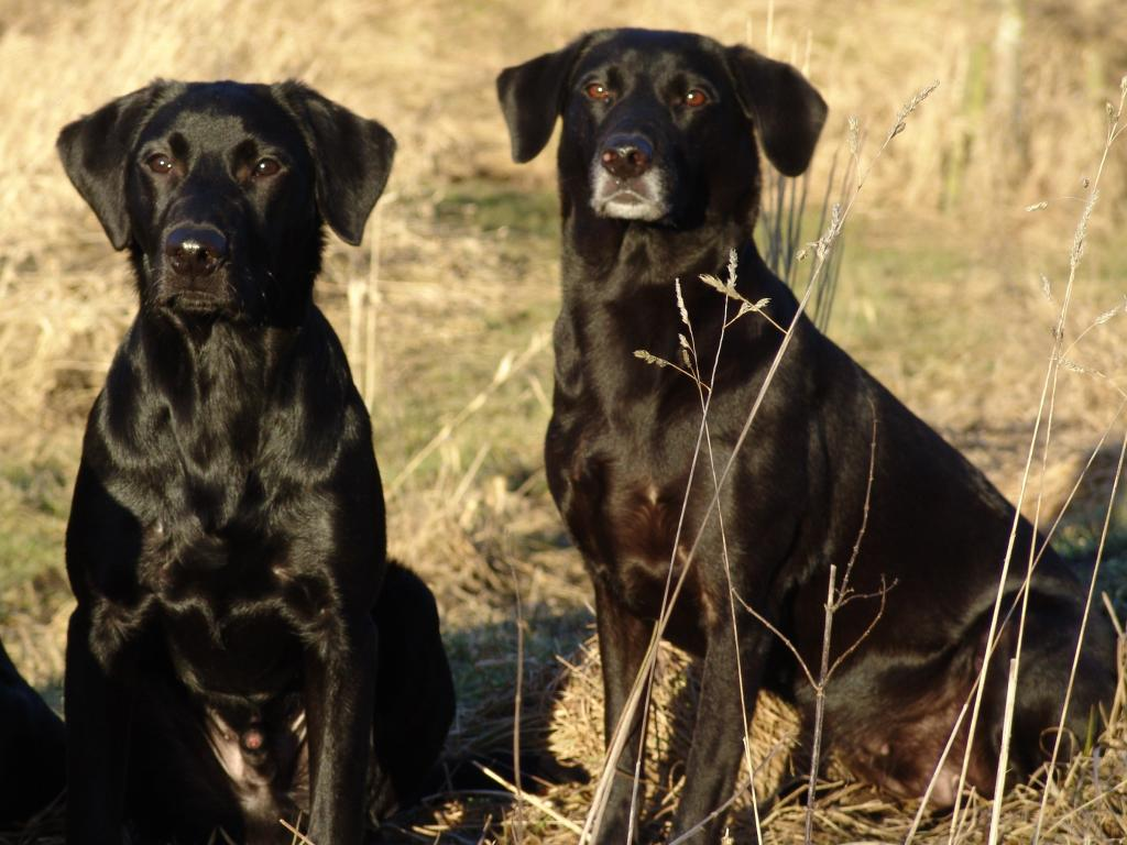 Ravensbank Bob (Bob) to the left with his beloved mum, Ravensbank Flo (Flo) to the right. ©Ravensbank Labrador Retrievers