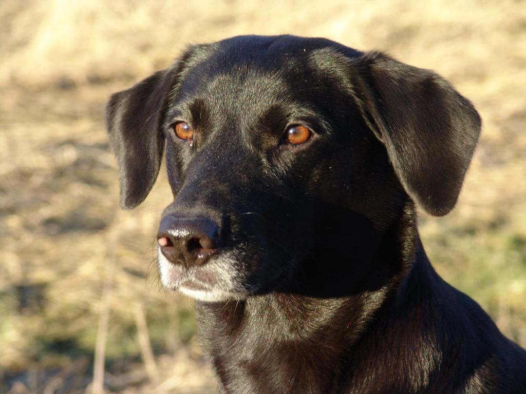 Ravensbank Flo (Flo) where she is 4 years and 9 months old.©Ravensbank Labrador Retrievers