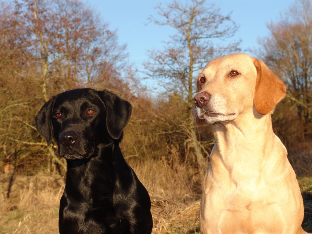 Til højre, Ravensbank Wagtail (Waggie) og til venstre, hendes søn Ravensbank Sir Kay (Tino)©Ravensbank Labrador Retrievers